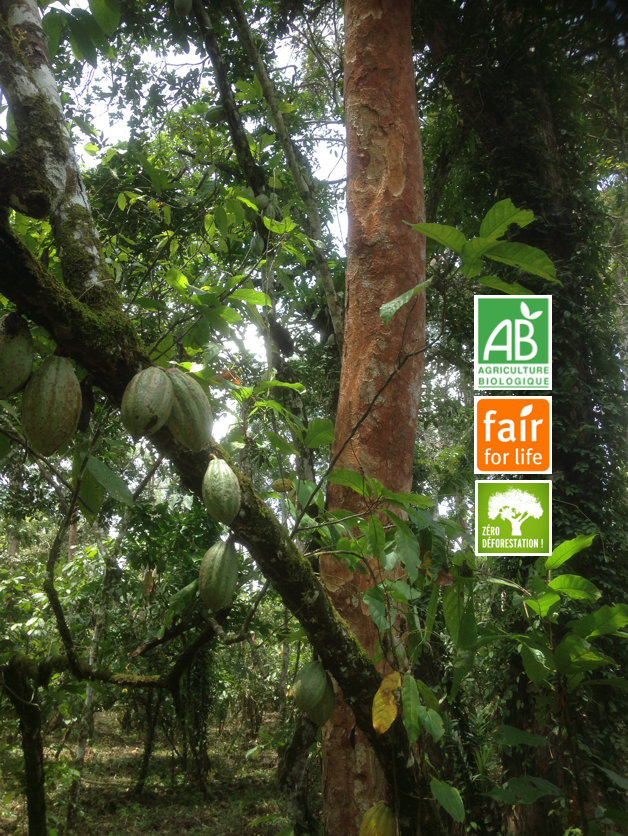 cacao_bio_ffl_agroforestier_actu_mighty_earth.png